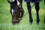 LOUISVILLE, KENTUCKY - MAY 01: McCraken, owned by Whitham Thoroughbreds LLC and trained by Ian R. Wilkes, grazes after exercising in preparation for the Kentucky Derby at Churchill Downs on May 1, 2017 in Louisville, Kentucky. (Photo by Douglas DeFelice/Eclipse Sportswire/Getty Images)