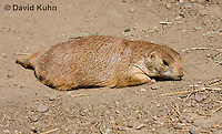 0601-1004  Black-tailed Prairie Dog Laying on Ground, Cynomys ludovicianus  © David Kuhn/Dwight Kuhn Photography