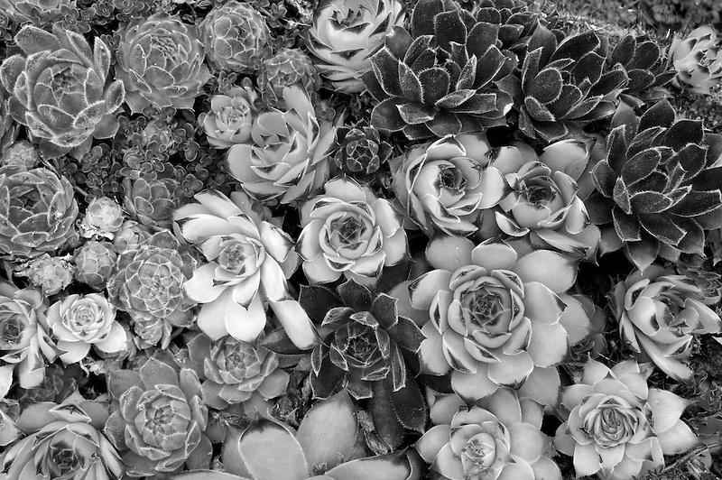 Species of Sempervivum. Northwest Garden Nursery, Eugene, Oregon