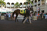 Orb in the walking ring before winning the Fountain of Youth (G2) at Gulfstream Park,  Hallandale Beach Florida. 02-23-2013