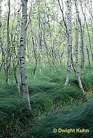 AC25-003z  Acadia National Park, Maine - grasses, white birch (Betula spp) on hiking path