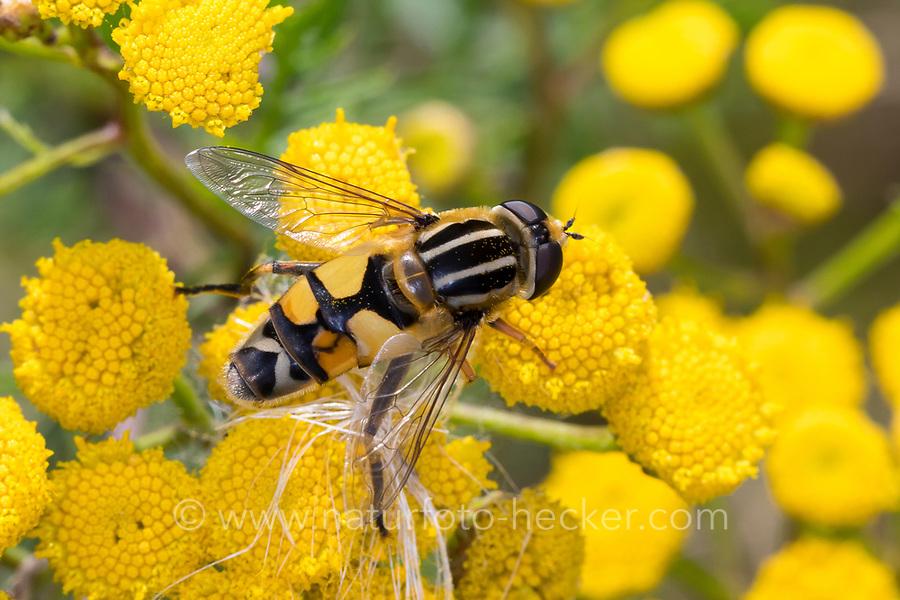 Große Sumpfschwebfliege, Grosse Sumpfschwebfliege, Sumpfschwebfliege, Sumpf-Schwebfliege, Weibchen beim Blütenbesuch auf Rainfarn, Helophilus trivittatus, large tiger hoverfly, female, l'hélophile à bandes grises