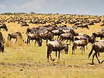 Wildebeest Gathering, Maasai Mara