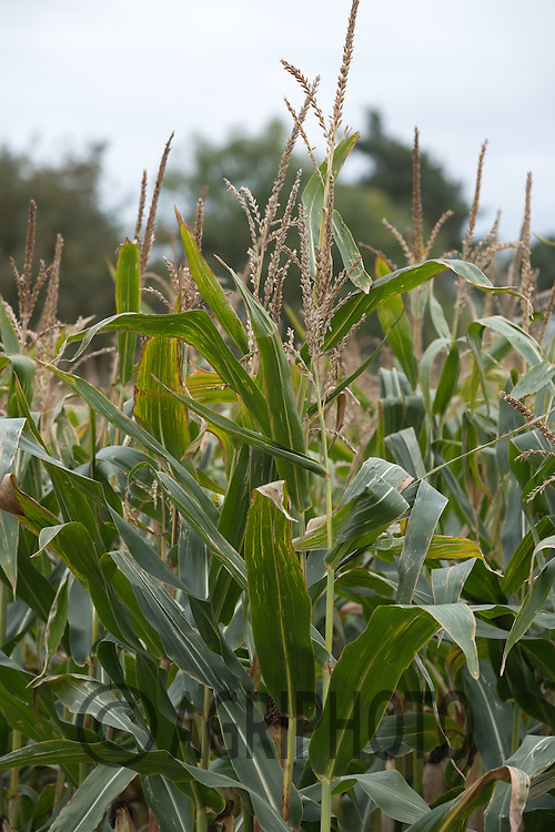 Maize to feed to beef cattle ready for harvest<br /> Picture Tim Scrivener 07850 303986<br /> ….covering agriculture in the UK….