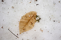 A three leave is pictured in Aralar mountain on January 28, 2013, in the Basque Country. (Ander Gillenea / Bostok Photo)