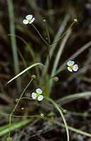 Igelschlauch, Hahnenfußähnlicher Igelschlauch, Baldellia ranunculoides, Alisma ranunculoides, lesser water-plantain