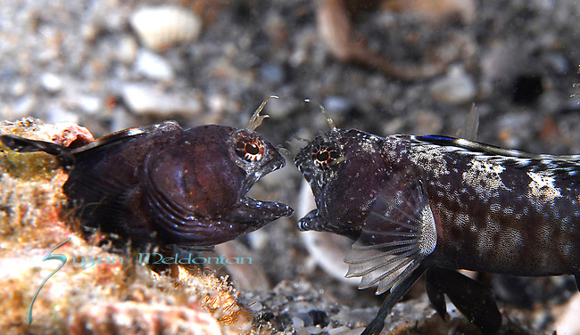 Sailfin blennies arguing over territory Emblemaria pandionis, behavior