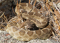 Northern Pacific rattlesnake, Crotalus viridis oreganus, in defensive posture. Mount Diablo State Park, California