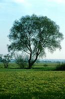 Silber-Weide, Silberweide, Weide, Salix alba, White Willow