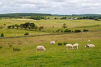Cumbria, England, UK.  Sheep Grazing alongside Hadrian's Wall Footpath, near Birdoswald Fort.