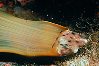 Shark Birth, swell shark, Cephaloscyllium ventriosum, hatching from egg case, California, USA, Pacific Ocean