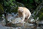 Adult Spirit Bear or Kermode Bear (Ursus americanus kermodei) - white morph of the black bear- in stream fishing for salmon. Gribbell Island, Great Bear Rainforest, British Columbia, Canada