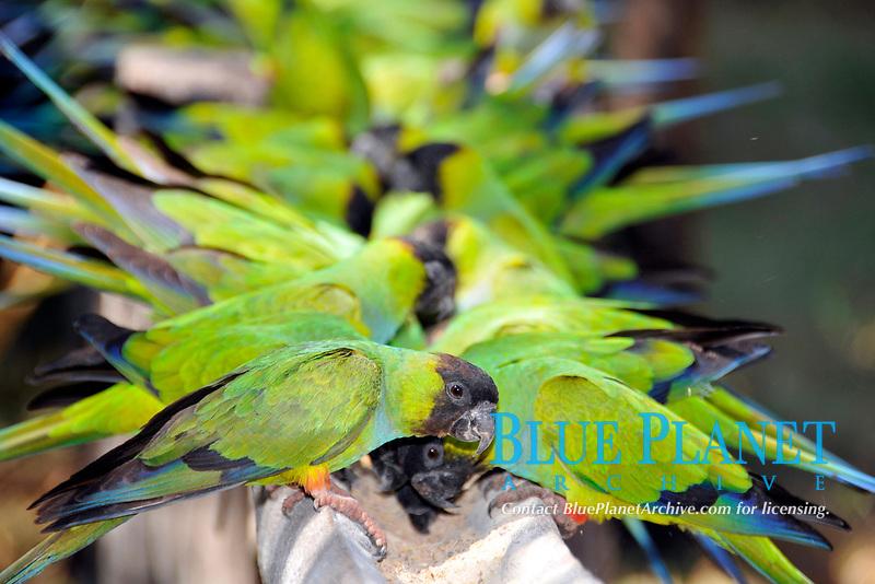 Black-hooded parakeet, Nandayus nenday, Miranda, Pantanal, Mato Grosso do Sul, Brazil