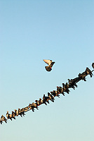 Poland, Krakow, Birds on a wire