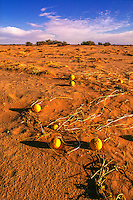 Bitter melon in Libya Sahara desert