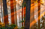 The dramatic combination of the setting sun with the mist rising from the ocean, create the perfect atmospheric conditions for photographing an old growth forest.