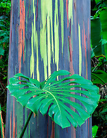 Painted Eucalyptus tree with leaf of philodendron. Keanae Arboretum, Maui, Hawaii