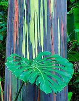 Painted Eucalyptus tree with leaf of philodendron. Keanae Arboretum, Maui, Hawaii