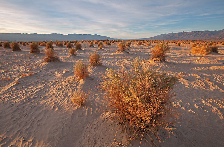 Arrowweed bushes (Pluchea sericea) in the Devil's Cornfield in Death Valley National Park, California, USA