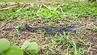 A juvenile captive spectacled caiman, Caiman crocodilus, San Francisco Village, Loreto, Peru