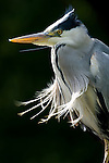 Wild Grey Heron (Ardea cinerea). Isle of Mull, Scotland.