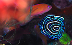 Angelfish-Emporer-juv, Pomacanthus imperator, Underwater macro marine life images;  Photographed in Tulamben; Liberty Resort; Indonesia.Underwater Macro Photographer on FB 2nd Annual event