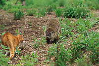 Tiger tabby cat meets woodchuck in the garden-- both are uncertain but equally sized.