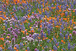 Sierra National Forest, CA<br /> Detail of California poppies with lupine and owl's clover along the Moss Creek Trail, Merced River Canyon