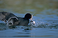 Eurasian Coot, Fulica atra, adults fighting, Luzern, Switzerland, April 1995