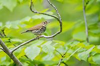 ovenbird, Seiurus aurocapilla, spring, male, perching, Nova Scotia, Canada