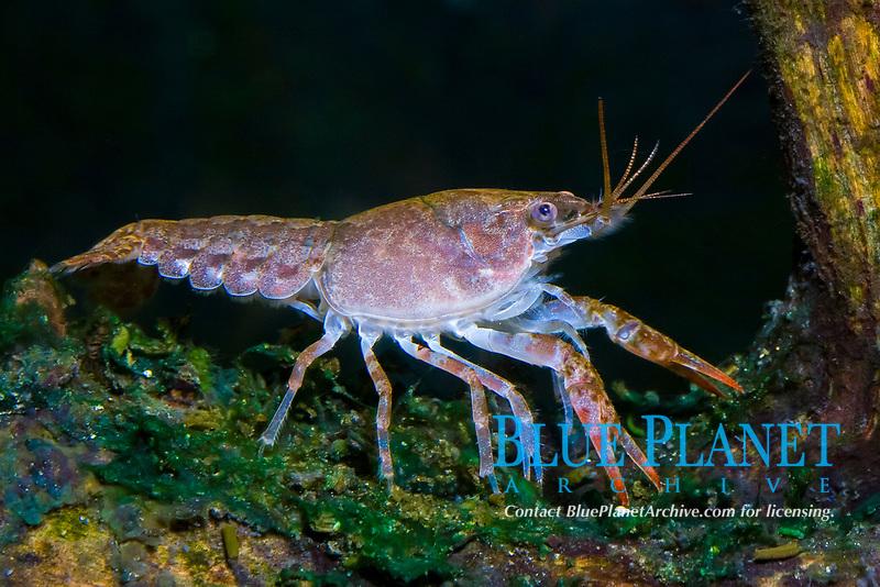 crayfish, Cambarus sp., North America (c)