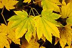 Vine Maple, Acer circinatum, close up of fall color.