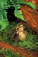 Mallard duckling. Summer. Pacific Northwest..(Anas platyrhynchos).
