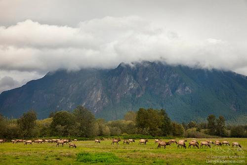 Elk Sparring, North Bend, Washington