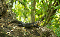 Black Iguana (Spiny-tailed Iguana), Ctenosaura similis, in Manuel Antonio National Park, Costa Rica