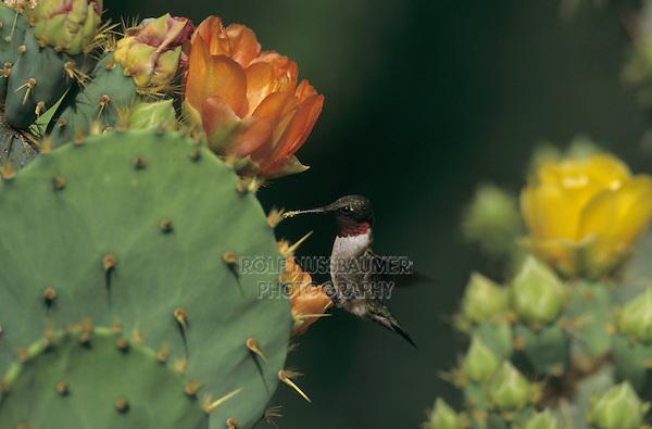 male feeding on Texas Prickly Pear Cactus (Opuntia lindheimeri) , Santa Ana National Wildlife Refuge, Texas, USA, April 2001
