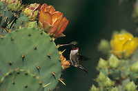 male feeding on Texas Prickly Pear Cactus (Opuntia lindheimeri) , Santa Ana National Wildlife Refuge, Texas, USA, April 2001