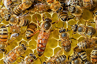 Western Honey Bees (Apis mellifera), queen on honeycomb surrounded by workers, Thuringia, Germany, Europe