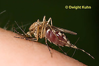 MQ02-596z   Mosquito sucking blood from human finger, Ochlerotatus excrucians, [Aedes excrucians]
