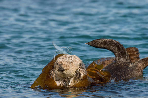 Southern Sea Otter (Enhydra lutris nereis) waking up after resting in kelp.  Central California Coast.  Being wrapped in kelp helps keep the otter from drifting away with the tide/current/wind while resting.