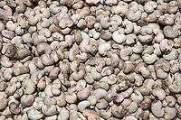 Unhulled Cashew Nuts Drying in the Sun, Nixo Village, near Sokone,  Senegal