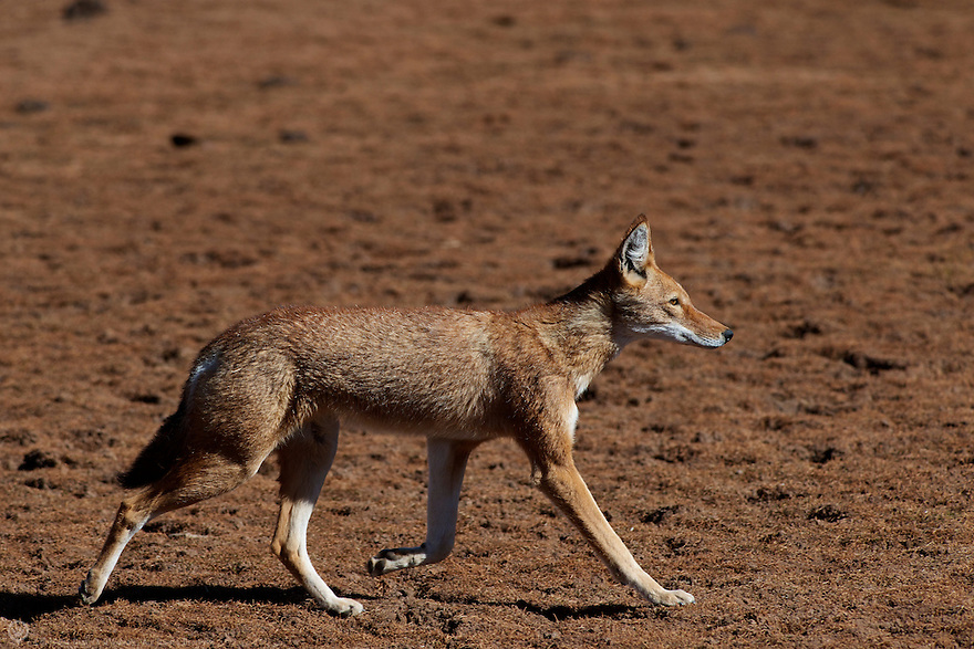 An Ethiopian Wolf trots across the Sanetti Plateau in the Bale Mountains of Ethiopia, Africa.