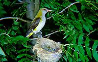 Pirol, Weibchen füttert Küken im Nest, Oriolus oriolus, golden oriole, Eurasian golden oriole, female, Le Loriot d'Europe