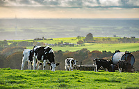 Dairy heifers overlooking the Fylde from near Oakenclough, Lancaster, Lancashire.