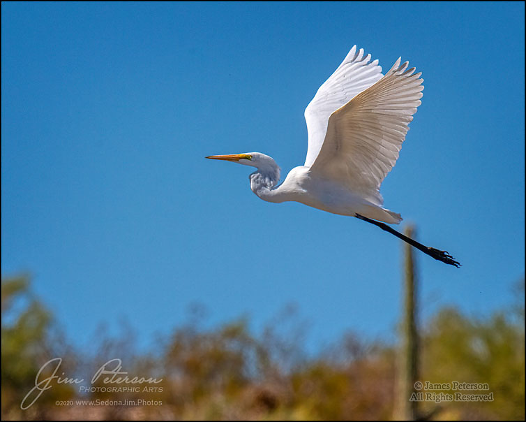 Ascending: Great Egret above Lake Pleasant, Arizona.  Here's another one of the many creatures that inhabit the shores of this desert lake northwest of Phoenix.  Closely related to herons, they are predators and are experts at catching fish and other water creatures while wading in shallow water.  They are found in most of the 48 contiguous US states; in winter months, they migrate south from states with colder weather.<br /> <br /> Image ©2020 James D. Peterson