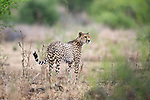 Male Cheetah (Acinonyx jubatus) patrolling territory. Ndarakwai, lower slopes of Mount Kilmanjaro, Tanzania. April 2015