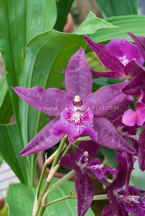 Beallara Peggy Ruth Carpenter Orchid: Beallara Peggy Ruth Carpenter 'Jem' HCC/AOS
