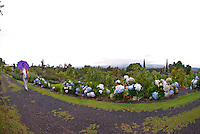 A woman walks along a path of hydrangea at Alii Kula Lavender farm and gardens at the base of Haleakala, Kula
