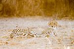 Cheetah (Acinonyx jubatus) twenty-one month old sub-adult female, Kafue National Park, Zambia