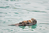 Alaskan or Northern Sea Otter (Enhydra lutris) mother and baby/pup
